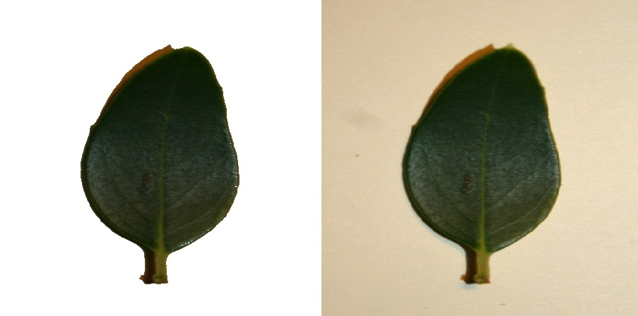 Leaf scan example for image classification